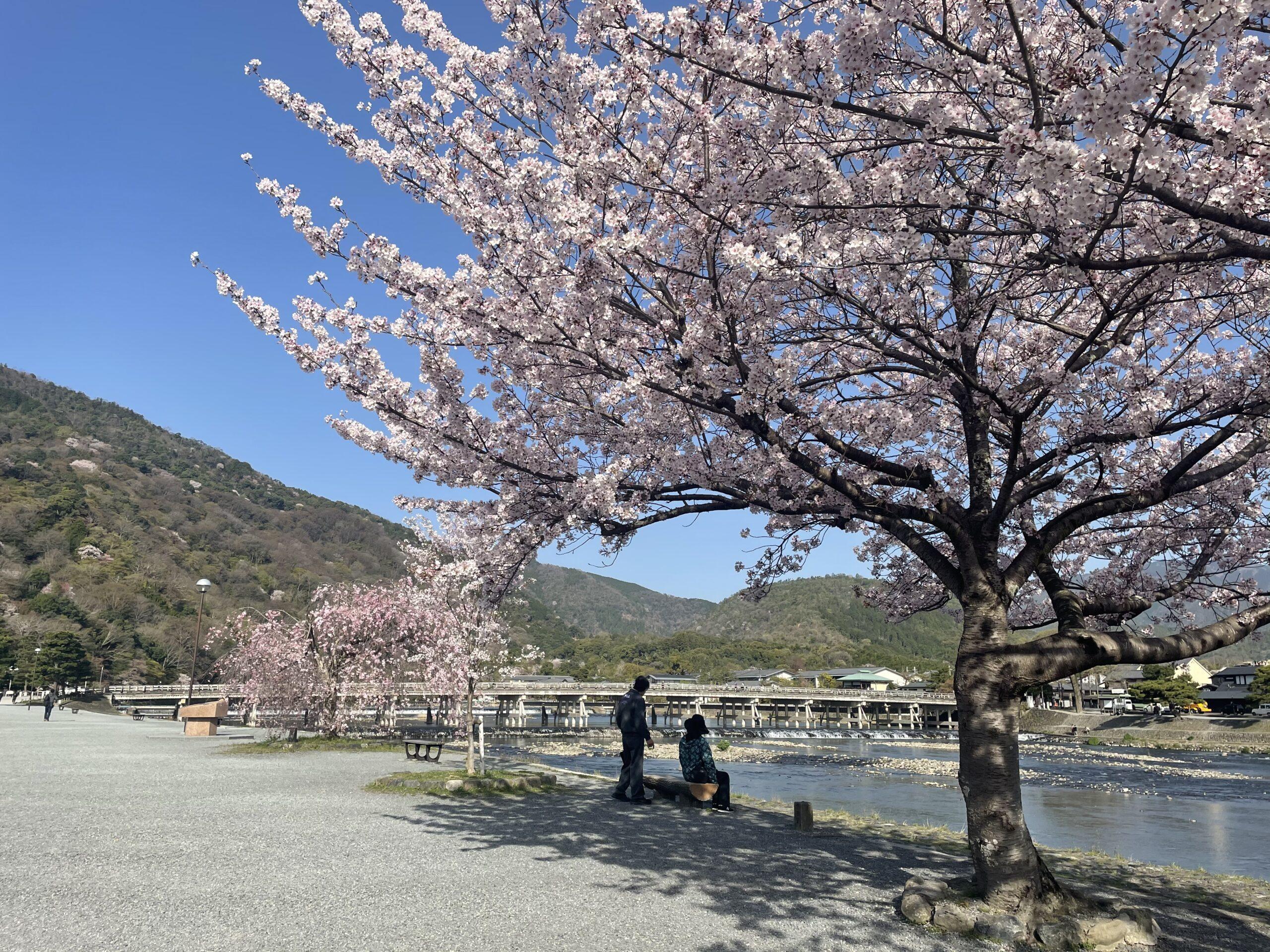 今週の嵐山の桜情報